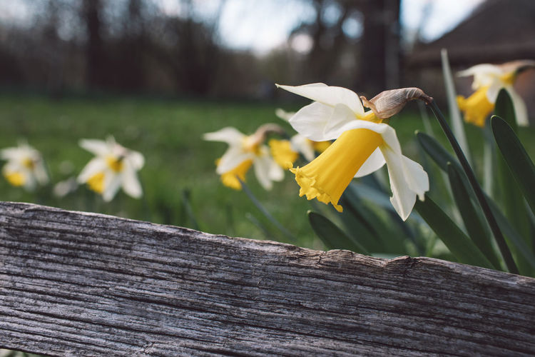 Springtime Decadence Flowering Plant Flower Fragility Vulnerability  Yellow Plant Petal Freshness Beauty In Nature Flower Head Inflorescence Wood - Material Close-up Nature Day Daffodil No People Focus On Foreground Growth Outdoors