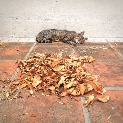 Dry leaves and sleeping cat on footpath