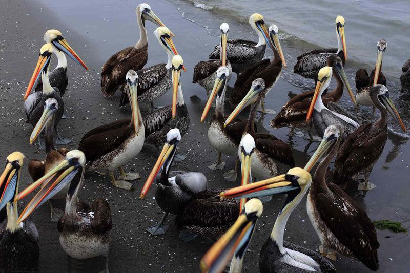 Pelicans in Paracas, Peru #e_no_sofa_nao_pousei_o_meu_corpo Paracas-Ica Peru Animal Wildlife Animals In The Wild Bird Nature Outdoors Paracas Paracas National Park Pelicans