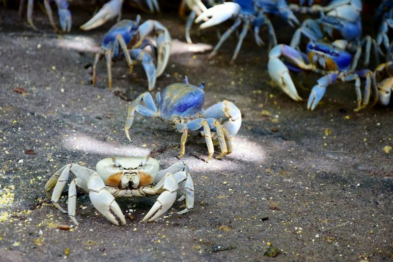 Albinism is fascinating... Animal Themes Sea Life No People Nature Crustacean Day Outdoors Crabs Albinism Different Beauty In Nature Fascinating Different Is Good Different Is Better Different Is Beautiful  EyeEmNewHere