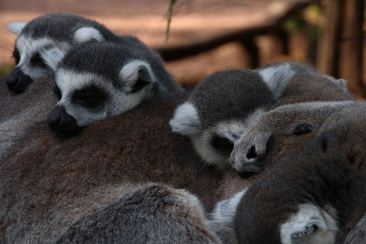The Brady Bunch Nature Photography Nature_collection Nature Maki Lemurs Lemur Animal Themes Animal Mammal Relaxation Vertebrate One Animal No People Animals In The Wild Resting Sleeping Animal Wildlife Close-up Focus On Foreground