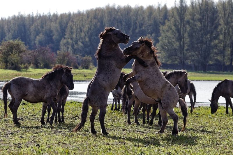 Playing Konik Horses Group Of Animals Mammal Animal Themes Animal Plant Domestic Animals Field Animal Wildlife Animals In The Wild