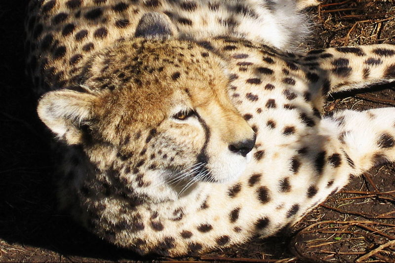 Spotted a cheetah Big Cats Cheetah Hair Animal Markings Animal Wildlife Animals In The Wild Cat Of Africa Cheetah Cheetah Spots Close-up Fastest Land Animal Feline Nature One Animal Spots And Markings Spotted Whiskers, Teeth, Fur, Ears