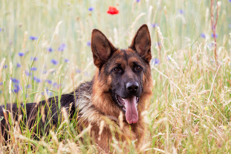 One Animal Canine Dog Animal Themes Pets Animal Domestic Animals Domestic Mammal Plant Grass German Shepherd Portrait Looking At Camera Nature Animal Body Part Facial Expression No People Day Panting Outdoors Mouth Open Animal Head  Purebred Dog