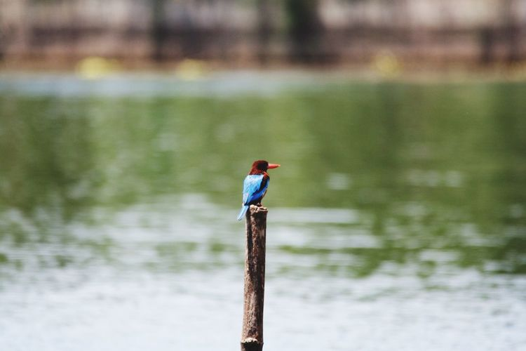 Blue Riverkwai River Birds Bird Photography EyeEm Birds Wildlife EyeEm Animal Lover Kingfisher Thailand