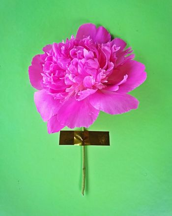 Flower No People Close-up Nature Beauty In Nature Day Flower Head Peony  Paeonia Suffruticosa Art Pink Green
