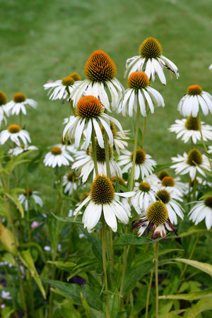 white echinacea flower in flowerbed. Blooming Blossom Botany Close-up Daisy Day Field Flower Flower Head Fragility Freshness Grass Green Color Growth In Bloom Nature No People Outdoors Petal Plant Stem Echinacea Herbal Plant Herbal White Color