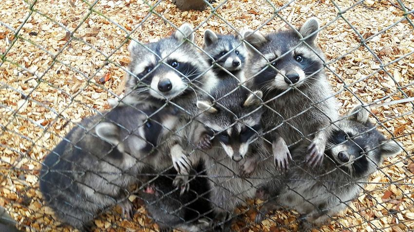 sweet little racoon family 😍❤🐾 Racoons Racoonlover Family❤ Sweetnessoverload Loveallanimals Animal Zooanimals InAction