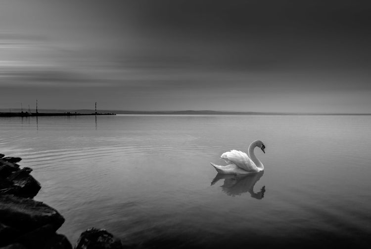 Swan swimming in sea