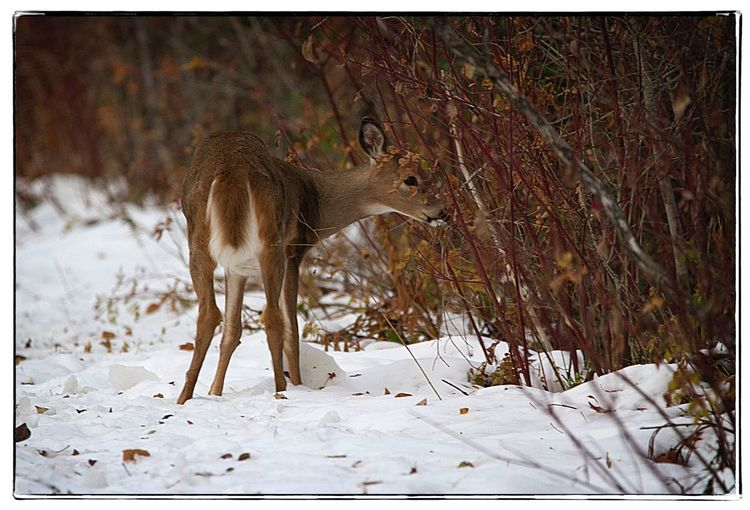 Deer foraging.
