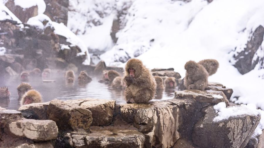 Close-Up Of Japanese Macaques In Hot Spring