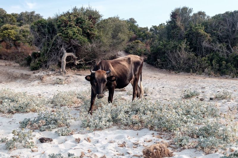 Wild cow in