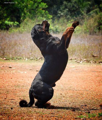 Good morning Rottweiler Clicked On Nikon D3300 Dog No People Dog Posing Animal Love 😍😍😍😍❤️❤️❤️❤️❤️ Close-up