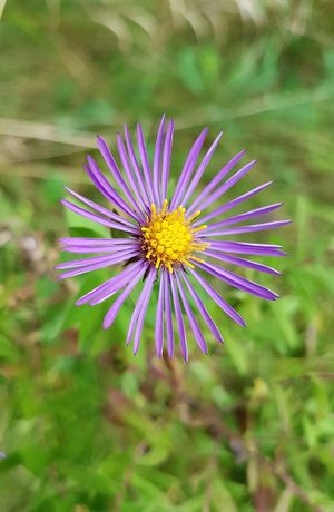 Flower Close-up Flower Head Single Flower Nature Plant Directly Above Purple Petal Growth