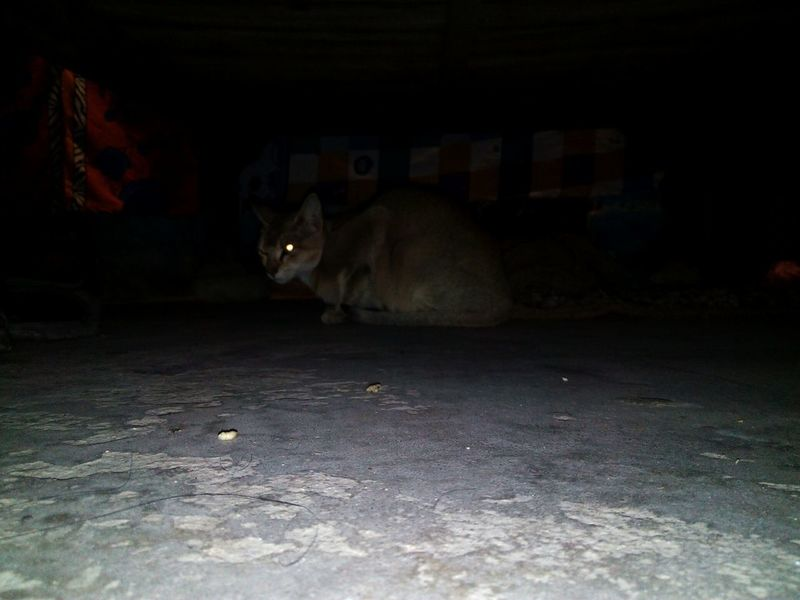 Arman Khan EyeEm Cat Night Under Bed Flashing  Eyes One Animal Night Animal Animal Themes American Bison No People Mammal