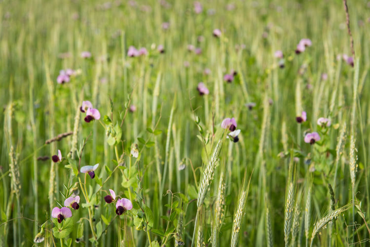 Cultivated Field Biological Nature Spring Springtime Flower Head Flower Poppy Field Close-up Grass Plant Green Color Crocus Wildflower Stamen Petal Pollen Blossom Single Flower Lily Uncultivated Thistle Blooming In Bloom