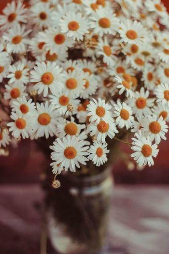 цветы Ромашки оранжевый