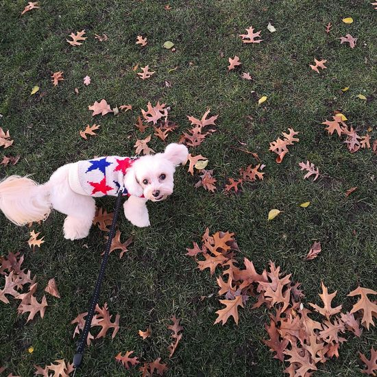 Huawei Mate 10 Pro Nature Autumn Warm Colors Green Autumn Leaves Lap Dog Dog Poodle Chihuahua - Dog Puppy Pup Dog Fashion Canine Pets Dog High Angle View Fallen Leaf Fall Leaves Maple Leaf Mixed-breed Dog Tiny Maple