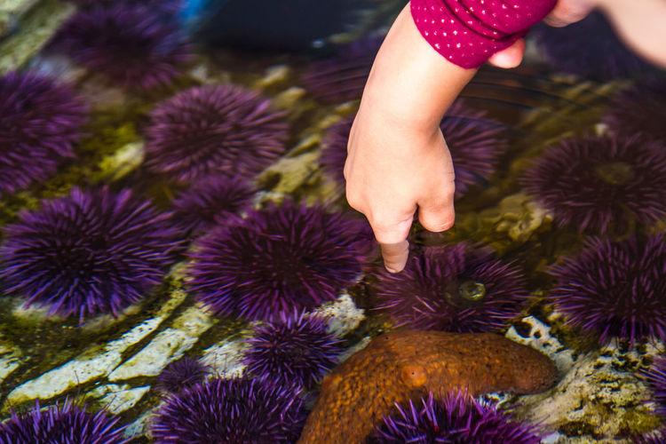 Cropped hand of child touching sea urchin