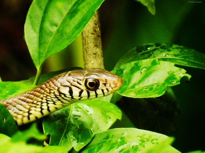 Eye Snake Rat Snake Clicked On Nikon Coolpix P900 Reptile Leaf Close-up Green Color Plant HEAD