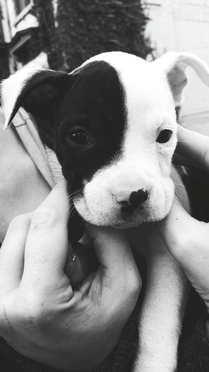 EyeEm Best Shots - Black + White Pitbull Puppy Cute Dog  Cuteness Overload Things I See Adorable Puppy Dog Of The Day