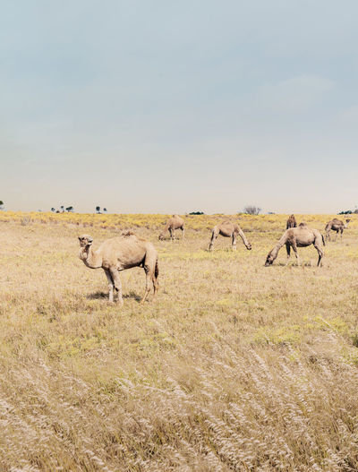 Beautiful picture of feral camels in australia. wild camels and dromedaries are eating bush.