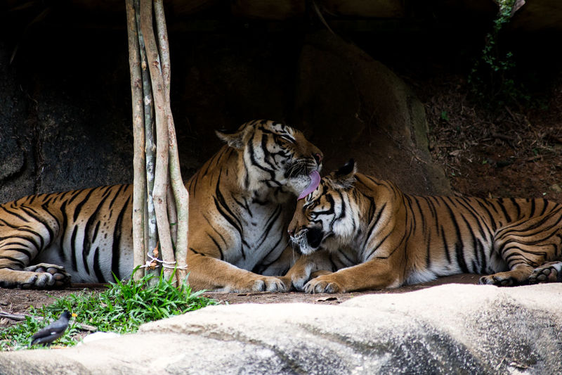 Animal Themes Endangered Species Feline Mammal Nature No People Relaxation Tiger Zoo Zoo Animals  Zoophotography