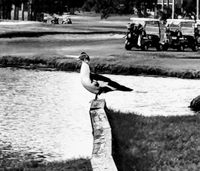duck standing by the water Golf Course Bird Animals In The Wild Animal Wildlife Outdoors Nature Day Animal Themes