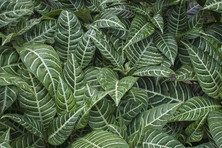 aphelandra leaves Aphelandra Flava Textures and Surfaces Backgrounds Beauty In Nature Botany Close-up Day Decorative Directly Above Freshness Full Frame Green Color Growth High Angle View Leaf Many Leaves Natural Pattern Nature No People Outdoors Pattern Plant Plant Part Tranquility