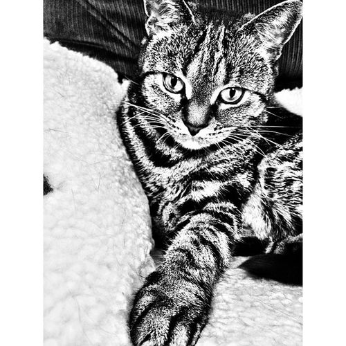 Utterly beautiful 🐱❤🐈 K8marieuk Photo365 Grumble Igers IGDaily Instapic Instagood Catsofig Catsofinstagram Petsofig Petsofinstagram Petstagram Catstagram Crazycatlady Crazycatgirl Beautiful Cat Cats Tabby Neko Tabbysofinstagram Tabbysofig Cameraplus Ansel AnselAdams iphoneonly