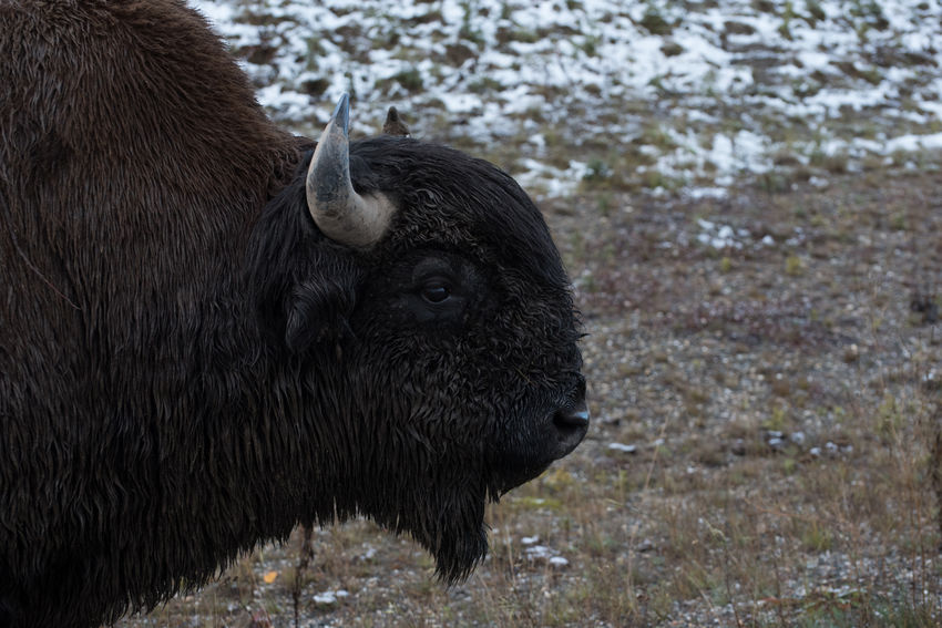 Woods Bison in northern British Columbia, Canada Adult Alpha Baby Bison Buffalo Buffalo Calf Bull Horns Mother Wood Wood Bison Young Animal Animal Themes Baby ❤ Bison Calf British Columbia Bulls Calf Canada Cute Herbivorous Herd Rocky Mountains Wood Buffalo