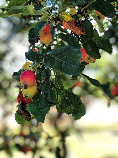 Fruit Leaf