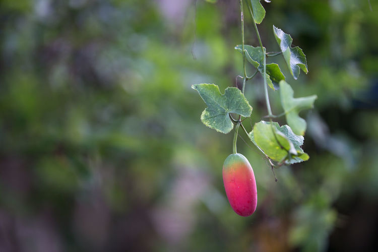 Ivy Gourd Ivy Gourd Beauty In Nature Close-up Day Focus On Foreground Freshness Fruit Green Color Growth Leaf Nature No People Outdoors Plant Tree