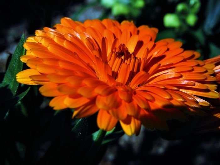 Calendula Officinalis Calendula Close-up Flower Flower Head Nature No People Orange Color Outdoors Petal Plant
