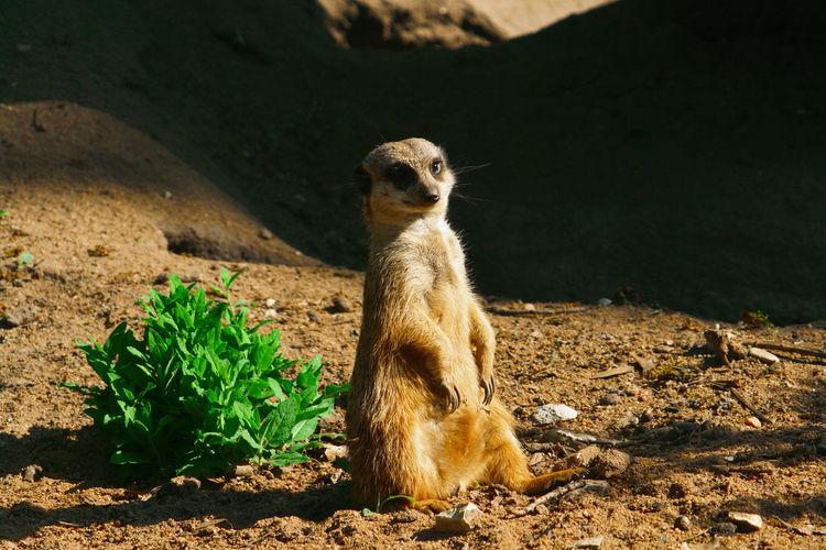 Portrait Of Meerkat Sitting On Field