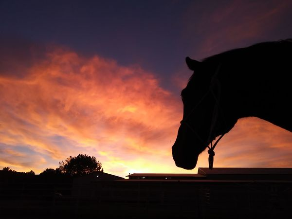Last night's sunset. Sunset Silhouette Horse Photography  Horse Sky Sunset Silhouettes No Filter No Edit/no Filter