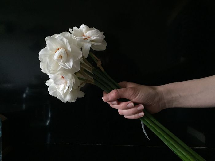 Cropped Hand Holding Bunch Of White Daffodils