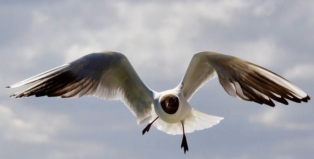Black-Headed Gull Flying In Mid-Air