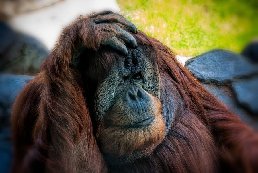 Time for some heavy duty thinking Animal Animal Hair Animal Head  Animal Themes Close-up Day Focus On Foreground Mammal One Animal Orangatang Outdoors Selective Focus Snout Vertebrate Zoo Zoology