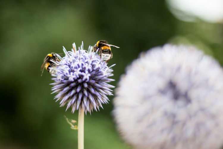 Close-up of bees on allium flower