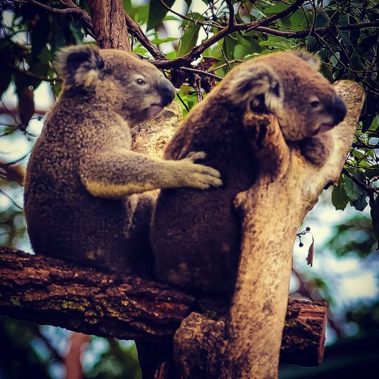 Animal Themes Mammal Tree Koala Animals In The Wild No People Day Sitting Animal Wildlife Outdoors Branch Nature