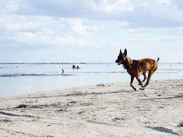 EyeEm Selects Beach Dog Sea Pets Animal Sand Domestic Animals Running Water Sky Animal Themes One Animal Outdoors Nature Horizon Over Water Day Mammal CARIBBEANLIFE New On Eyeem Wanderlunst Fun Playing Mexico Dog In Action