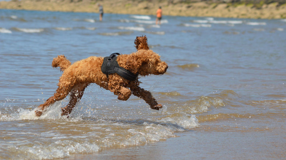 Cockapoo Animal Animal Themes Beach Brown Canine Day Dog Dog In The Sea Dog In The Surf Dog On The Beach Group Of Animals Land Motion Nature No People Pets Running Sea Vertebrate Water Waterfront Wave