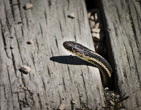 Animals In The Wild Close-up Day Narcisse Snake Pits Nature One Animal Outdoors Snake Snake Pit Snake Pits Snakes