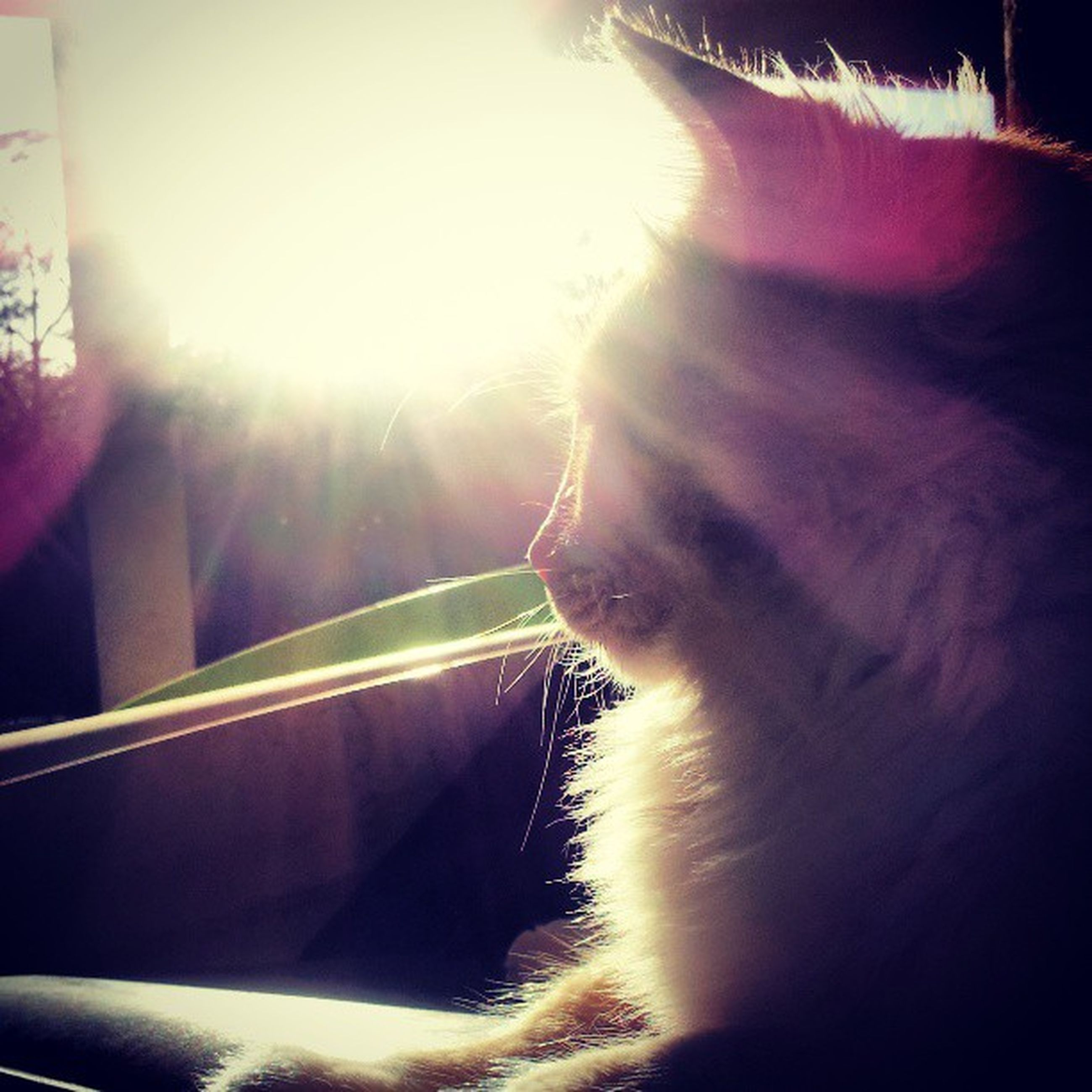 one animal, domestic animals, pets, mammal, sunbeam, sunlight, animal themes, lens flare, one person, domestic cat, sun, close-up, side view, cat, relaxation, looking away, feline, day, indoors, part of