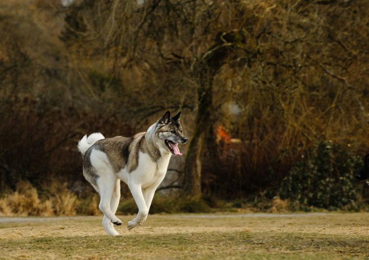 Japanese akita running on field