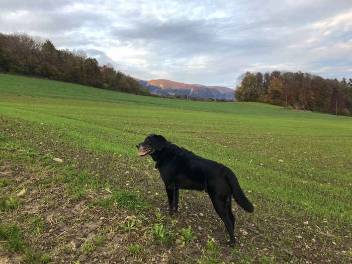 Black dog in a field