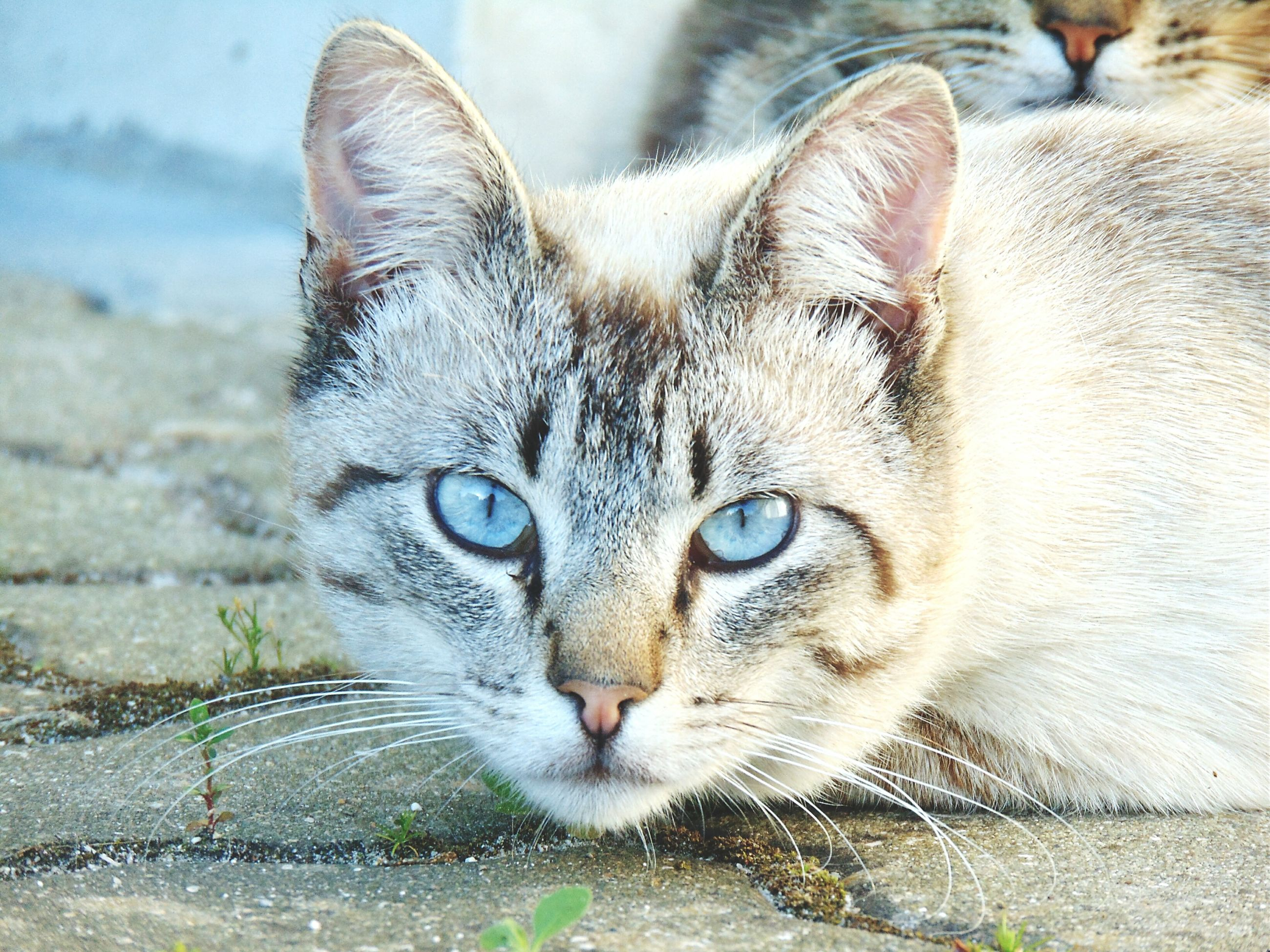 domestic cat, cat, animal themes, feline, one animal, whisker, domestic animals, mammal, pets, portrait, looking at camera, close-up, animal eye, animal head, alertness, focus on foreground, front view, staring, outdoors