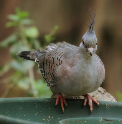 Lovelynatureshots Pigeon ThingsWithWings  Dove Bird Noedit Taube Duif Telephoto Closeup #streamzoofamily #streamzoofriends