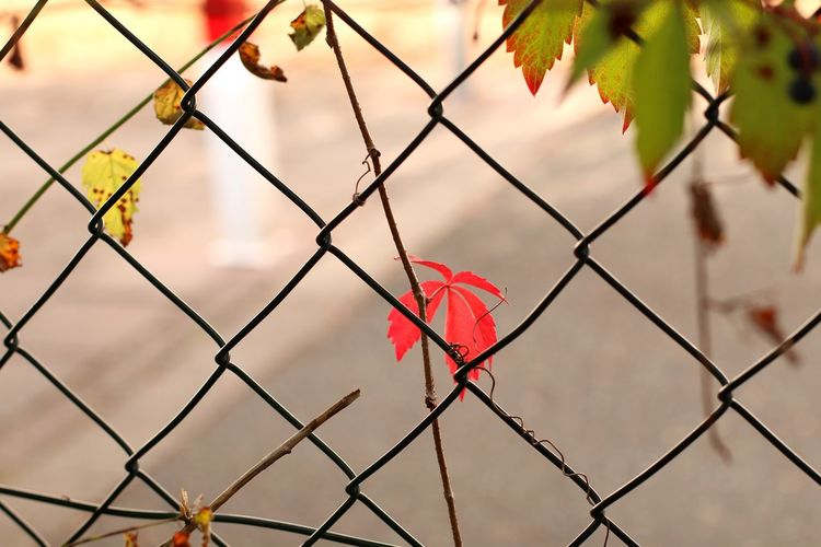 Red Leaf Leaf In The Fence EyeEm Selects Defocused Protection Autumn Safety Metal Security Chainlink Fence Close-up Chainlink